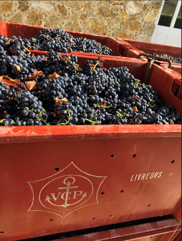 Crates of grapes just picked off the vines during harvest season at Veuve Clicquot's vineyards