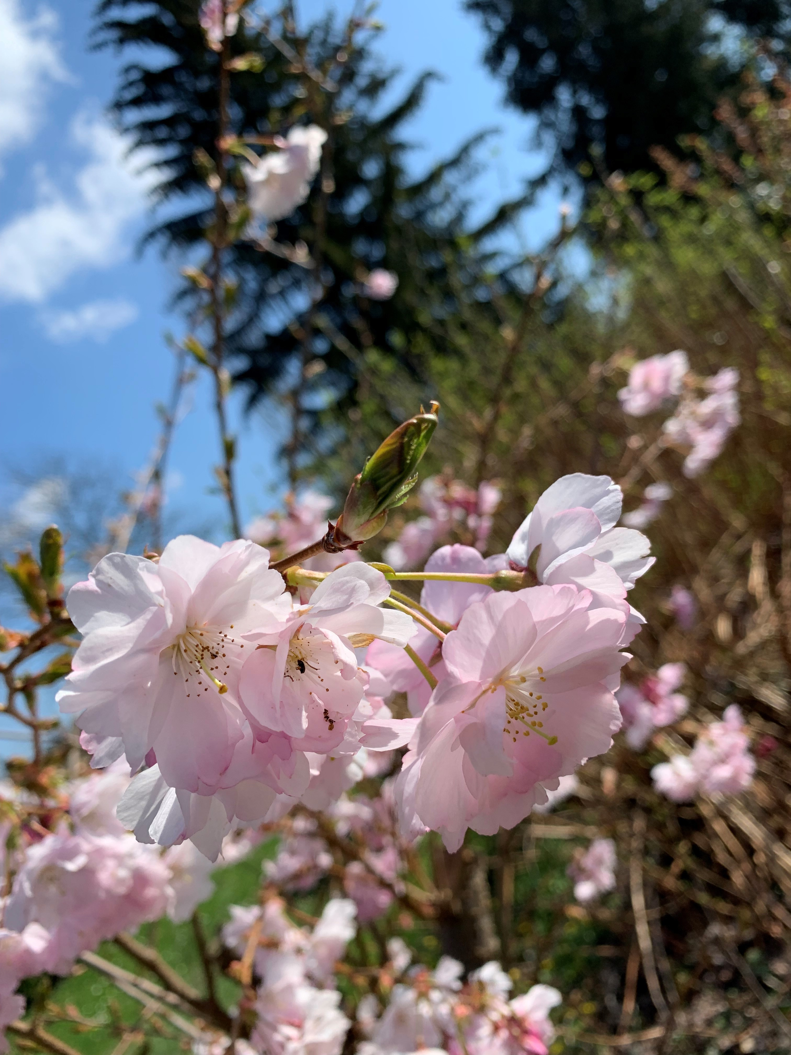 Close-up of a single-flowered pastel pink cherry blossom, with almost all flowers in bloom, and a couple of green buds