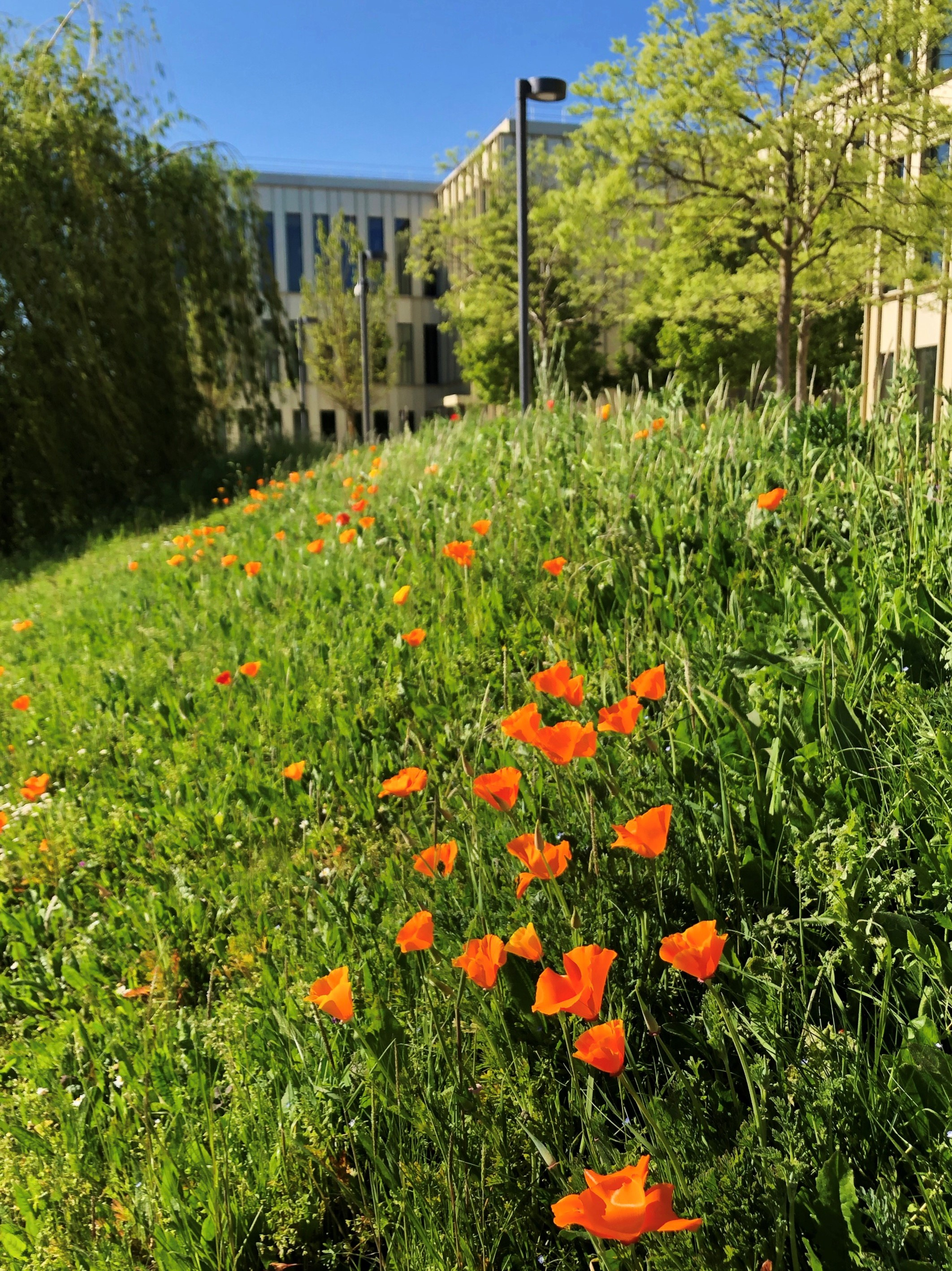 Bright orange daisies in the grass, with the HEC MBA building and trees in the background