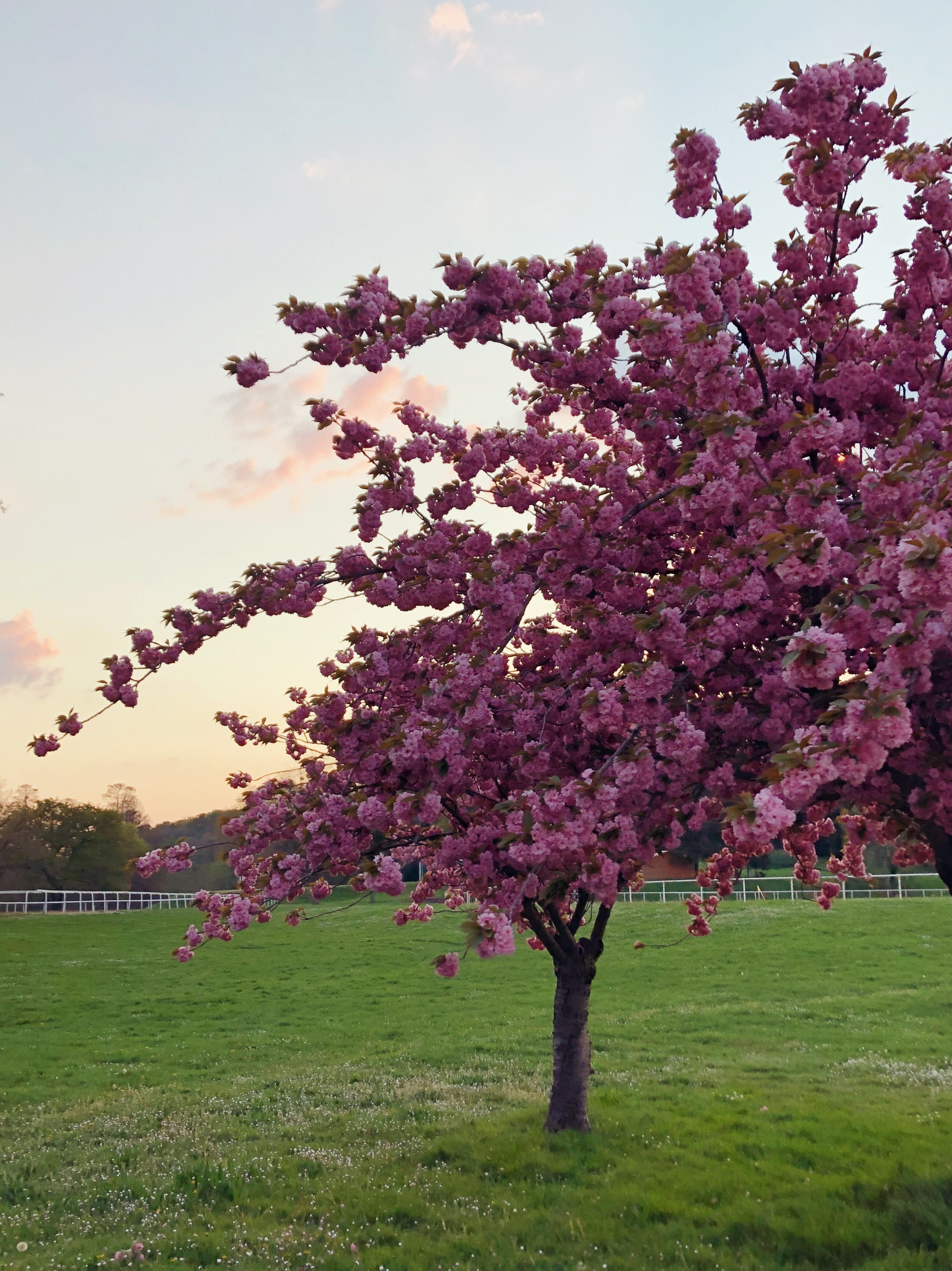 A pink cherry blossom tree in a field, by the lake-side sport playing fields