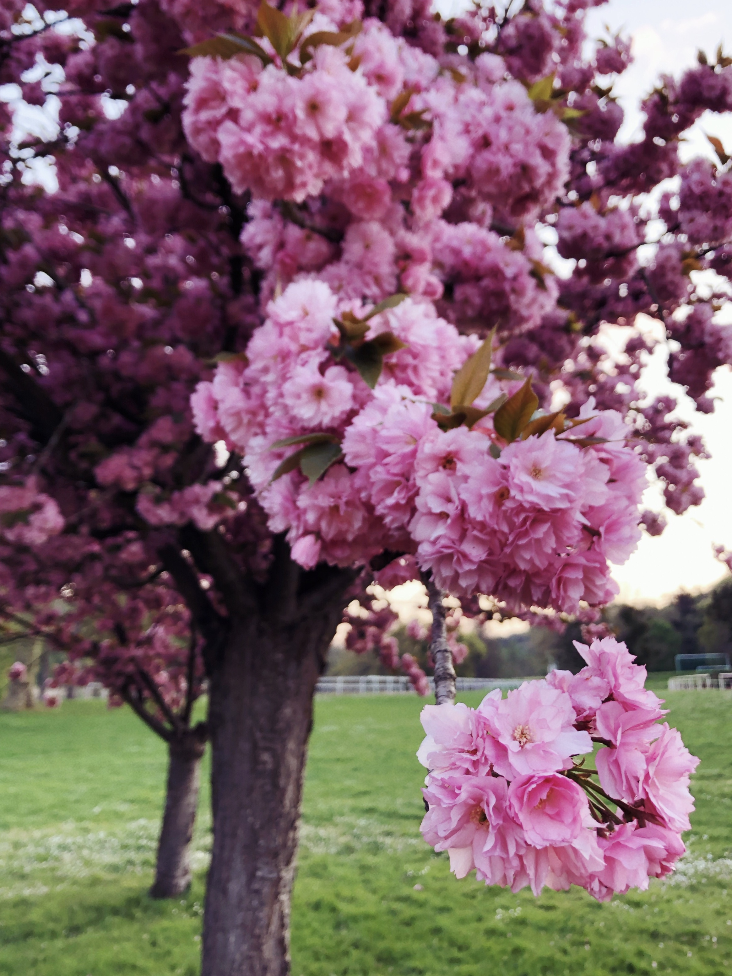 The same cherry blossom as above, but a close-up of the vibrant, slightly less pastel pink flowers.