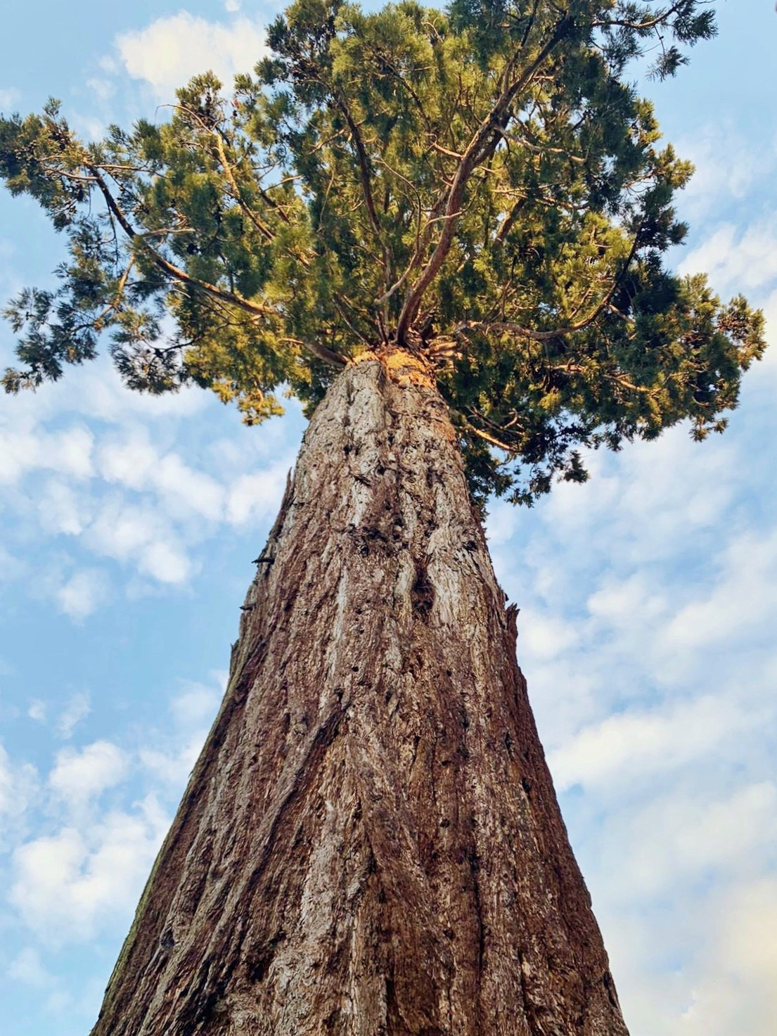 A picture looking up at the enormous Giant Sequoia on campus