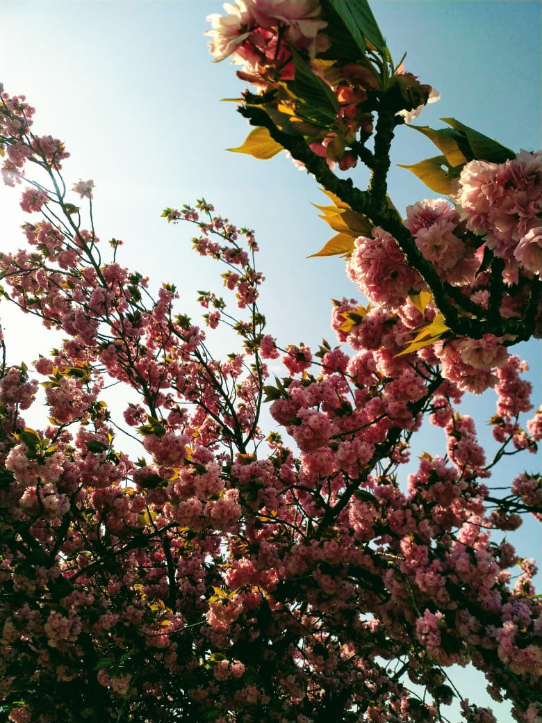Close-up of a pastel pink cherry blossom tree with the blue sky in the background