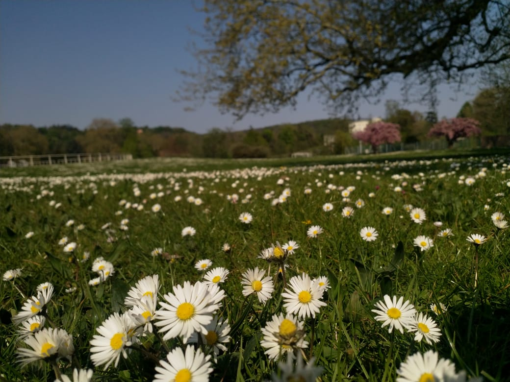 Daisies on a field by the lake-side playing pitch at HEC Paris