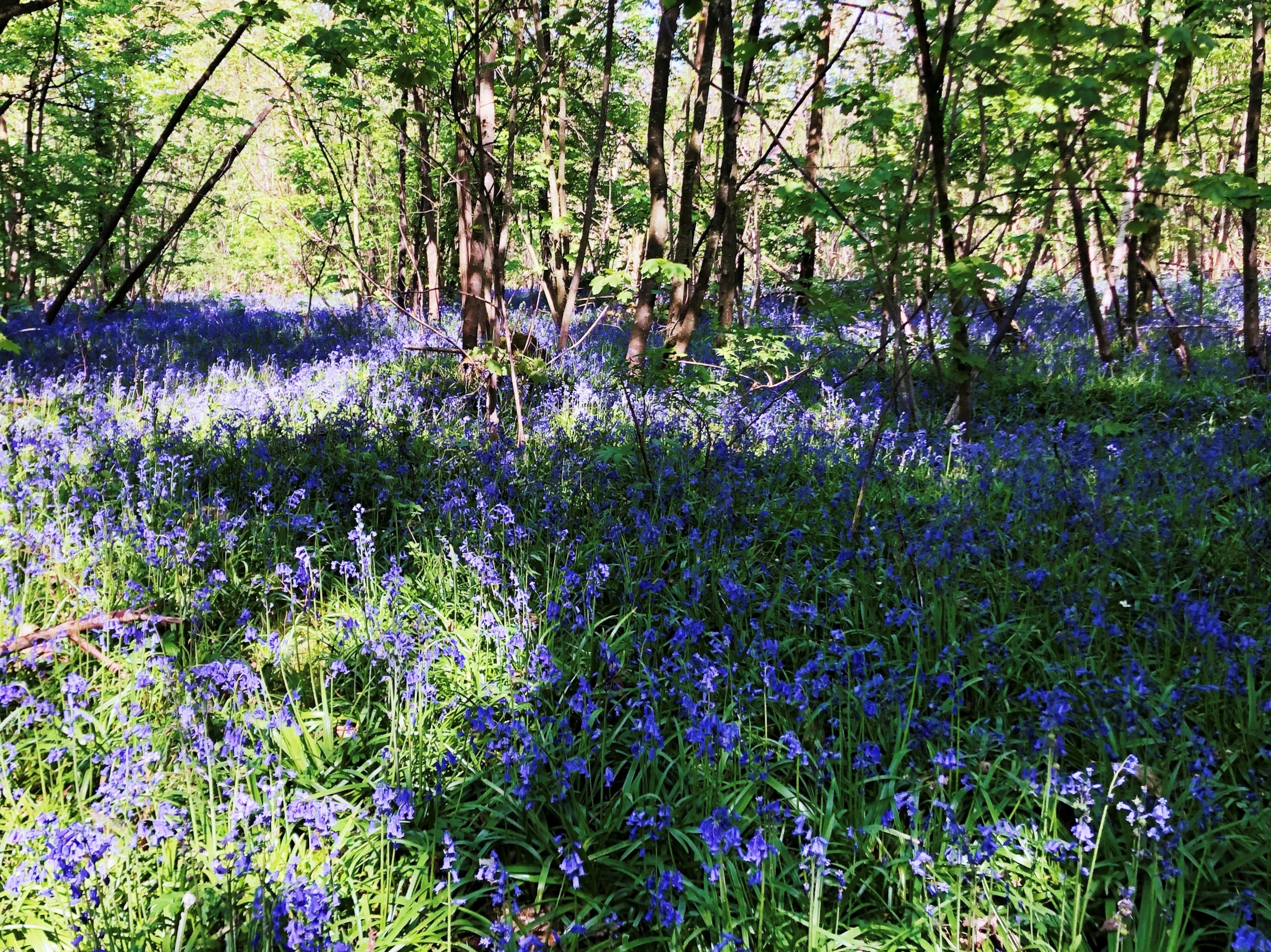 A meadow of bluebells, partly shaded by a forrest of small trees behind