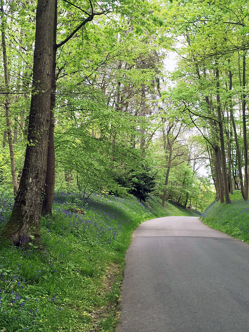 A narrow winding path surrounded by verdant tall trees, grass and bluebells.